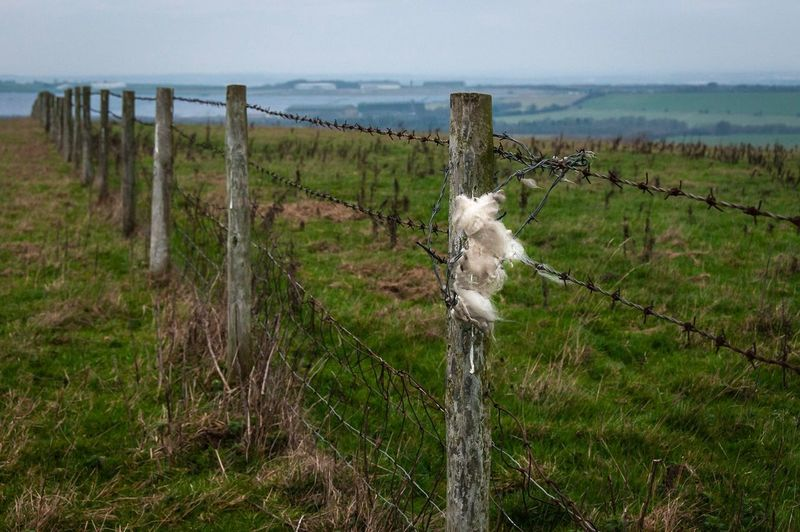 Wool on the Wire Wiltshire Swindon Wroughton Plant Barrier Boundary Land Tranquil Scene Fence Tranquility Field Grass Safety No People Landscape Nature Environment Security Sky Beauty In Nature Protection Barbed Wire Day