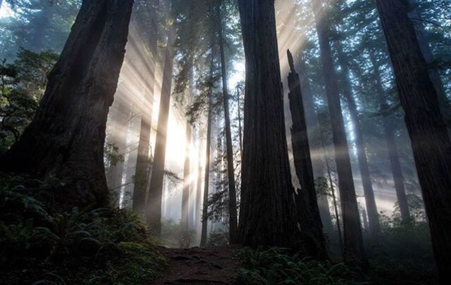 Lost In The Landscape Forest Tree Trunk Nature WoodLand Sunbeam Scenics Beauty In Nature Landscape Sunlight Redwood lLow Angle Viewr oOutdoorsfFogdDaytTree AreasSkyCCaliforniaadventuresMMichellerobertsonphotographymMishoobitTreecCanon 5d Mark LllgGod LighthHwy 101 Redwood Highway Lost In The Landscape