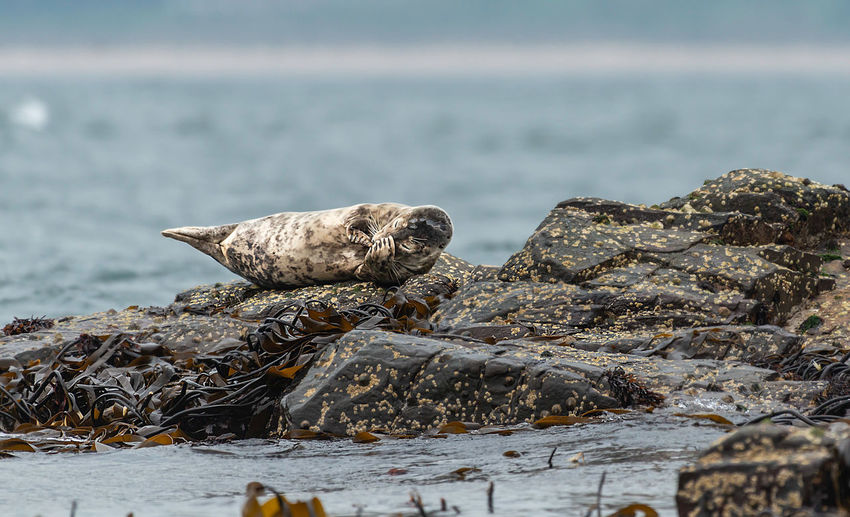 Seal perching on rock by sea