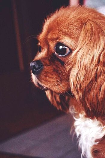 Jessie❤️ Pets Dog Close-up Cavalier King Charles Spaniel First Eyeem Photo