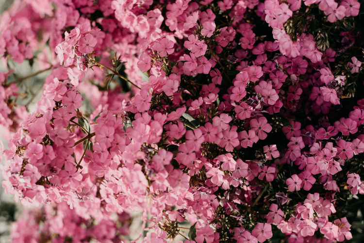 Flower Flowering Plant Pink Color Fragility Plant Beauty In Nature Vulnerability  Freshness Growth Petal Full Frame Blossom Inflorescence Nature Flower Head Backgrounds Close-up Springtime No People Botany Outdoors Bunch Of Flowers Lilac Cherry Blossom Spring