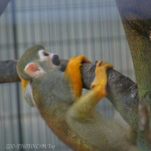 ZOO-PHOTO Animals Zoo コモンリスザル 猿は木から落ちない?