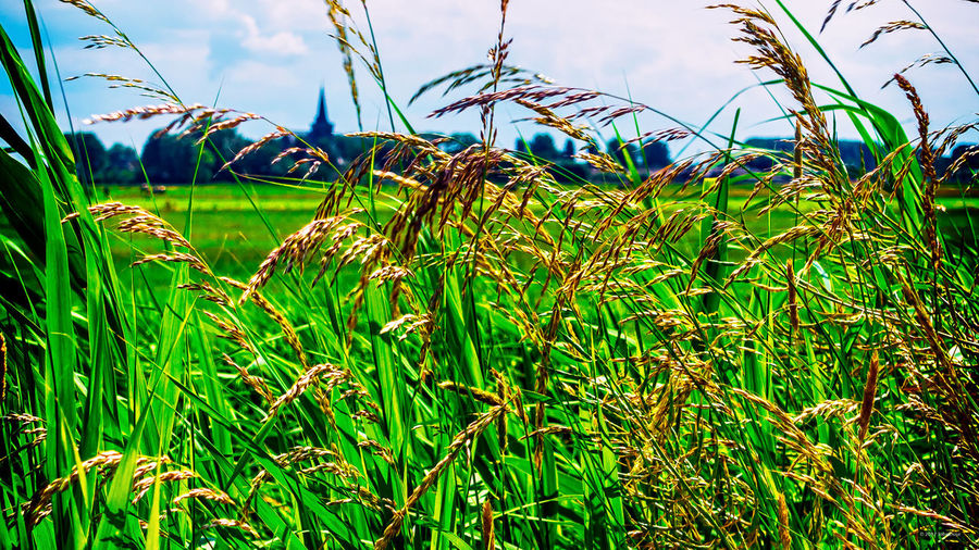 Church tower seen thru the grass on a summer day 't Woudt Agriculture Beauty In Nature Church Tower Day Field Grass Grass Green Color Growth Nature No People Outdoors Plant Sky Tranquility Summer Road Tripping