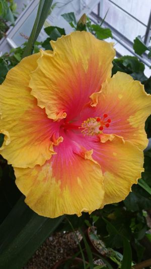 Hibiscus at the