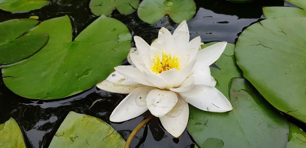 Flower Head Flower Water Lotus Water Lily Leaf Water Lily Lily Pad Petal Floating On Water Close-up
