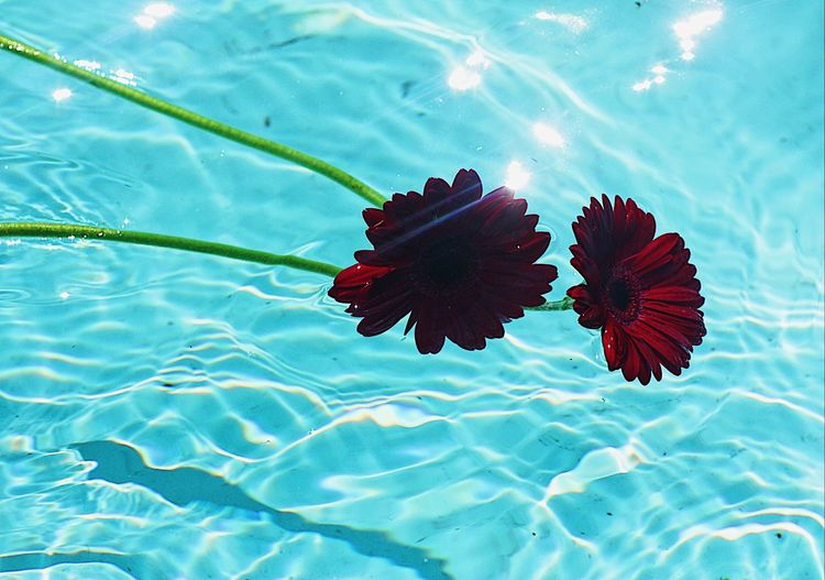 High angle view of lotus water lily in swimming pool