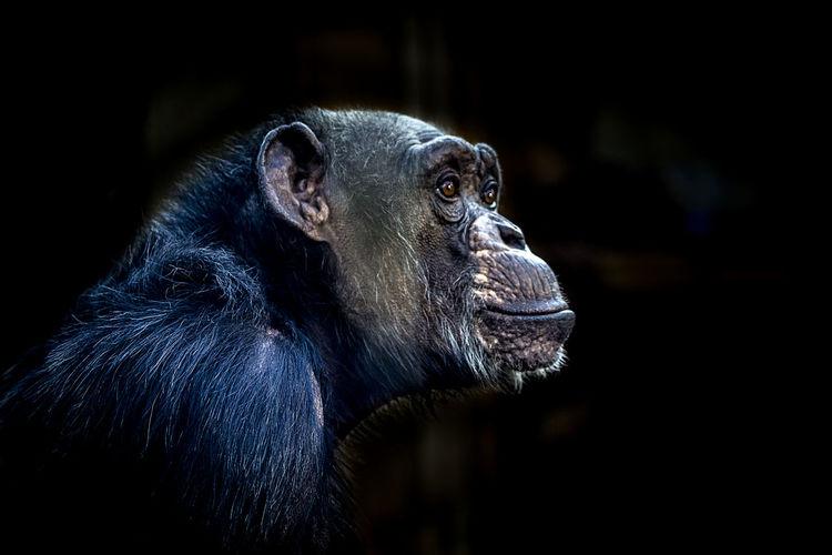 Close-up of chimpanzee at zoo