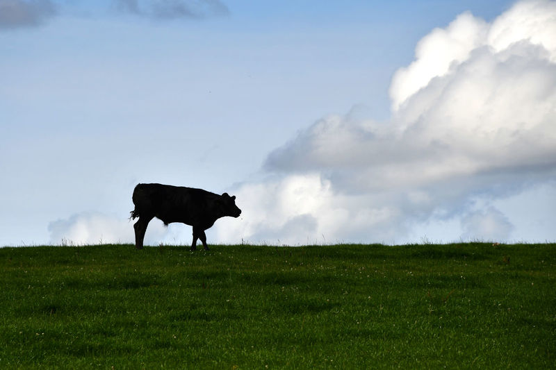Bull Grazing Skyline Animal Animal Themes Cattle Cloud - Sky Cow Domestic Domestic Animals Environment Field Grass Grazing Cattle Herbivorous Land Landscape Livestock Mammal One Animal Plain Sky