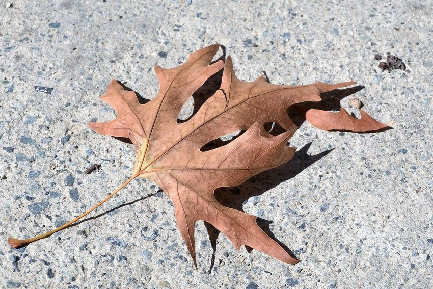 Autumn Leaf on Concrete Floor Autumn Autumnal Change Colours Of Autumn Concrete Fallen Leaf Floor High Angle View Leaf Nature Outdoors Spines On Leaf Veins In Leaves