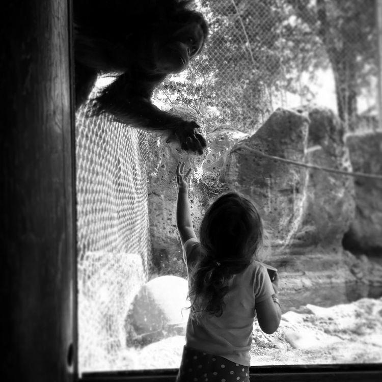 Orangutan Monkey Love Zoo Zoology Zoo Animals  Louisville, Kentucky Louisville Zoo