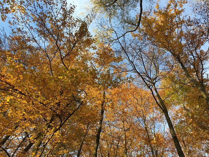 Tree Nature Low Angle View Autumn Growth Beauty In Nature Forest Change Sky Outdoors No People Tranquility Branch Leaf Scenics Day Looking Up IPhoneography Autumn Colors Autumn 2016