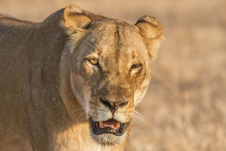 Close-up portrait of a lioness