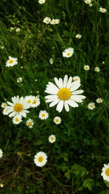 The Essence Of Summer Marguerite Dog Daisy Flowers Nature Photography Nature_collection Nature On Your Doorstep Nature's Diversities Oxeye Daisy Flower Meadow Grassland Nature_perfection Nature Is Beautiful