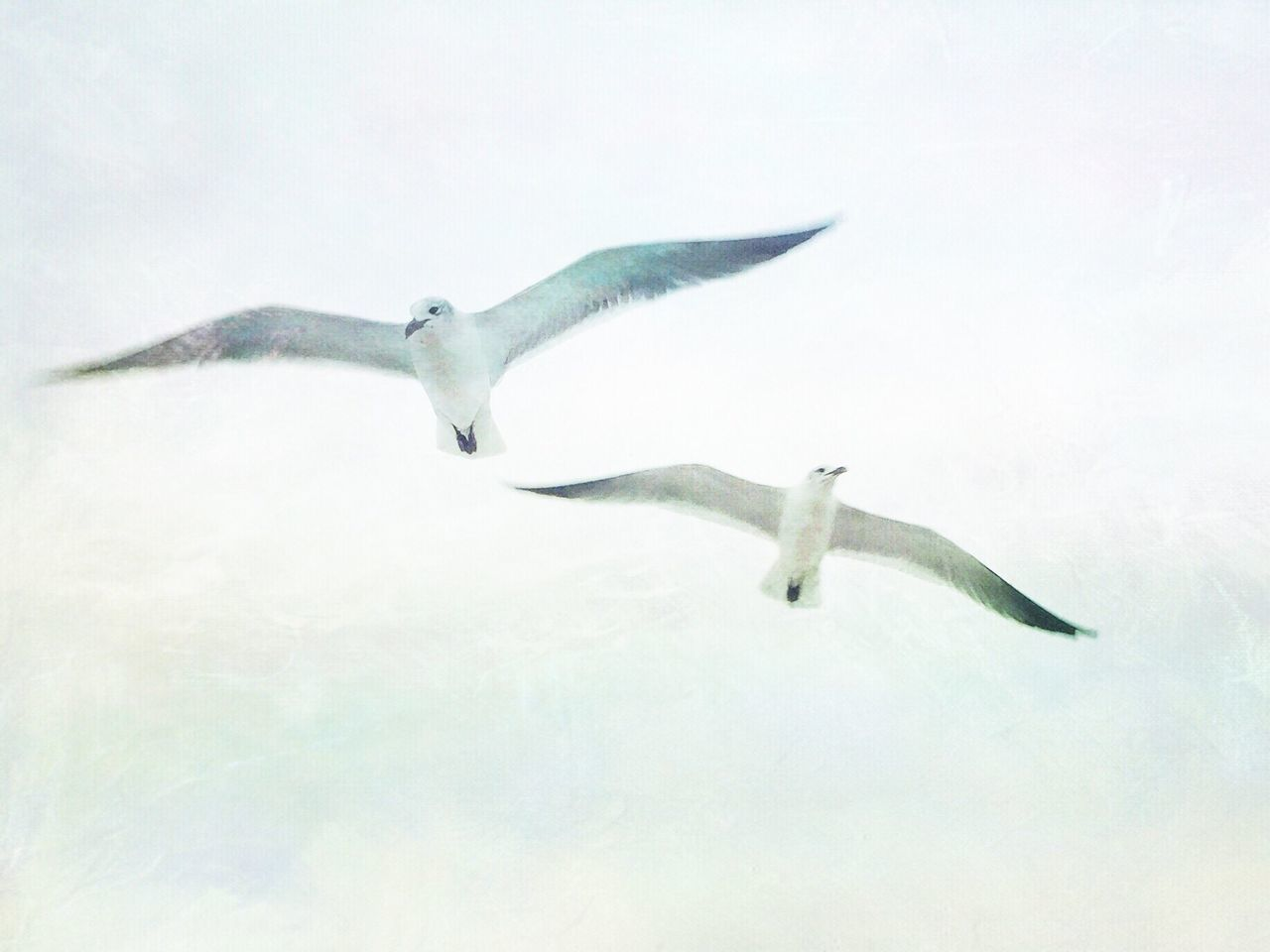 animals in the wild, animal themes, bird, flying, spread wings, nature, animal wildlife, one animal, no people, seagull, day, water, outdoors, swan, mammal
