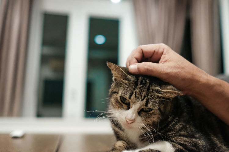 A hand cares a cat at home