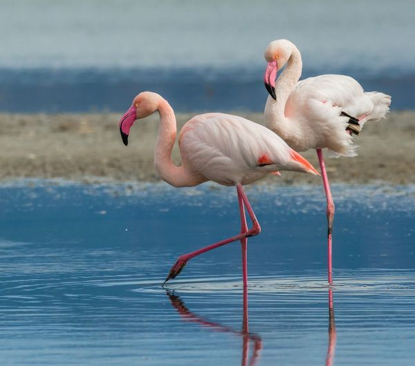 Animal Themes Animal Bird Water Flamingo Animals In The Wild Animal Wildlife Pink Color Group Of Animals Lake Nature No People Two Animals Reflection Day Outdoors Animal Neck Freshwater Bird Wading
