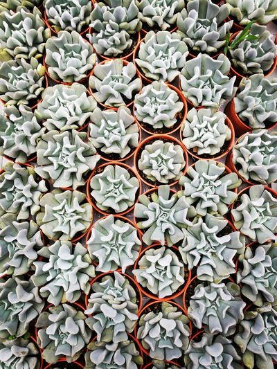 Directly Above Shot Of Succulent Plant At Nursery