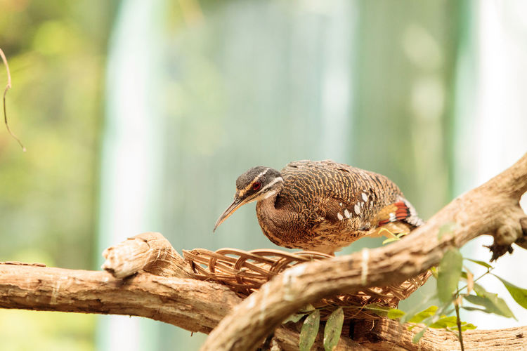 Kori bustard bird, Ardeotis kori, is native to Africa. Africa Animal Themes Animal Wildlife Animals In The Wild Ardeotis Kori Bird Day Kori Bustard Nature No People One Animal Outdoors