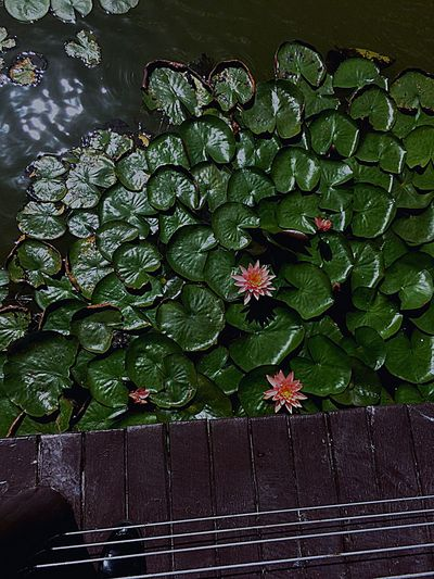 Lotus Flower Pond Outdoor Nature