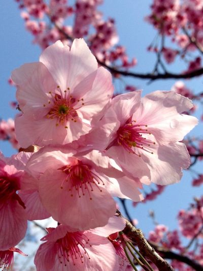 Cherry Blossoms Blossom Time🌺 EyeEm Japan Meetup Flower Fragility Nature Growth Beauty In Nature Petal Close-up Freshness Pink Color Springtime Sky Tree Flower Head Blossom Sunlight Stamen No People Twig Outdoors Low Angle View Saikai City Japan