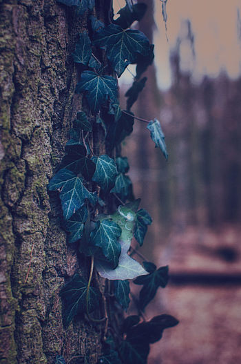 Close-up of ivy hanging on tree