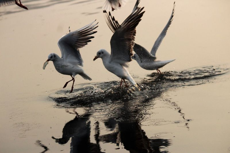 Competition 🎭 Birds Nature Photography Migratorybirds KashmiriGate Delhi #yamunaghat #siberians Spread Wings Beauty In Nature Outdoors Day first eyeem photo