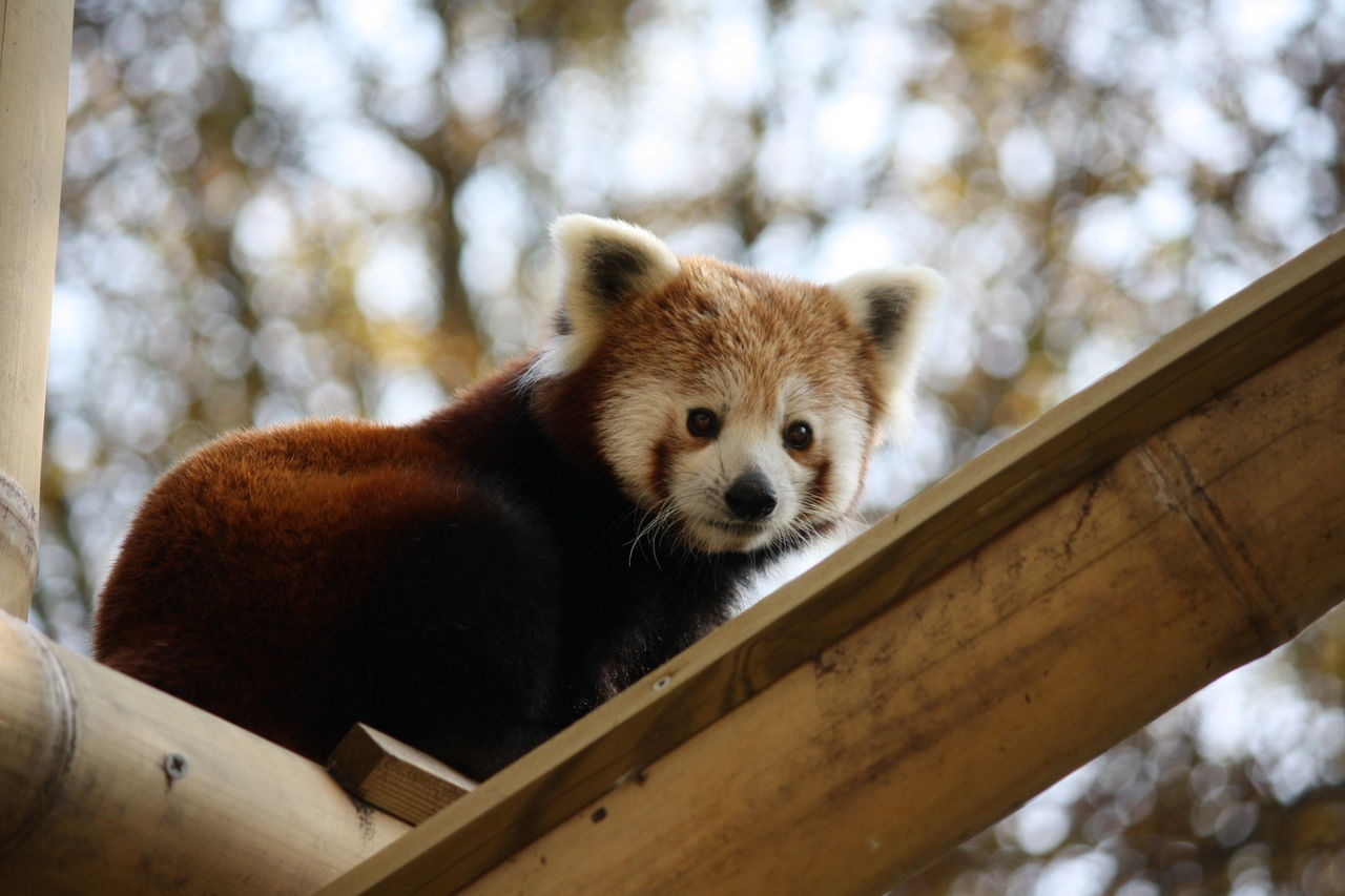 Low Angle View Red Panda On Bamboo
