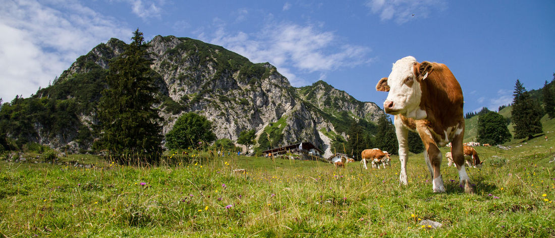 Portrait of a cow in the meadow of the Chiemgau, Bavarian view, mountains and sunshine. Bavaria Bergidylle Chiemgauer Bergwelt Fleckvieh Hiking Wuhrsteinalm Alps Animal Animal Themes Brown Cattle Chiemgau Day Domestic Domestic Animals Germany Grass Herbivorous Land Livestock Mammal Mountains Mountains And Sky Nature No People Outdoors Pets Plant portrait of a friend Sunshine Two Colours Vertebrate White