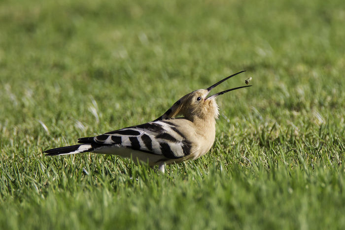 Animal Themes Animal Wildlife Animals In The Wild Bird Bird Photography Birds Of EyeEm  Day European Birds Field Grass Growth Hoopoe Hoopoe Eating Nature Nature Photograhy Nature Photography No People One Animal Outdoors Upupa Epops Western Palearctic
