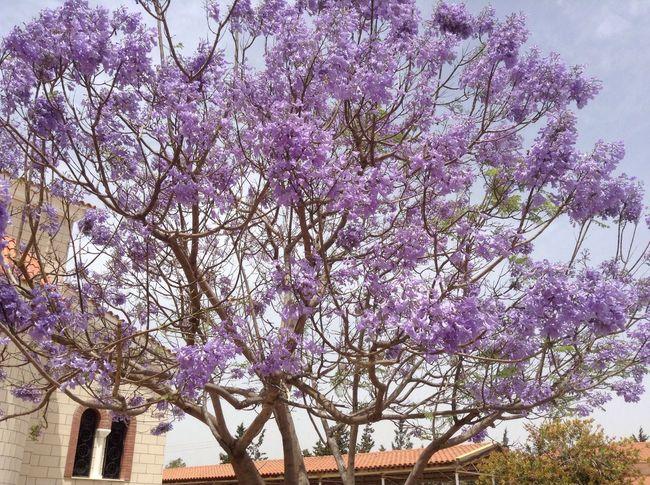 Mauve Tree