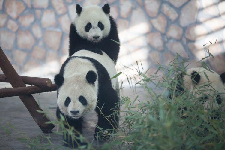 Pandas mating in zoo