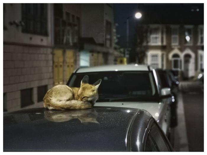 😘😴 London Fox