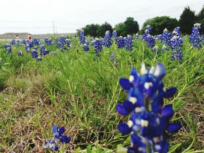 Bluebonnet Texas Landscape Flowers,Plants & Garden Flowerporn