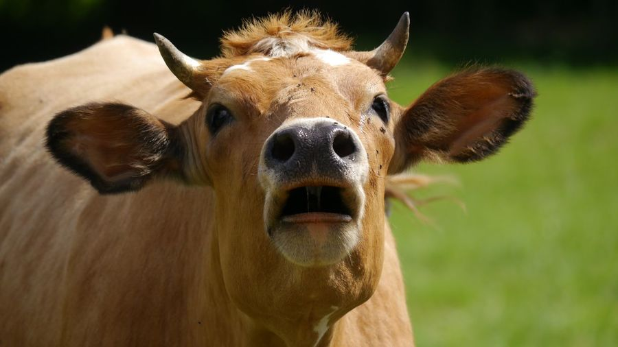 Close-up of cow making noise, looking at me with open mouth