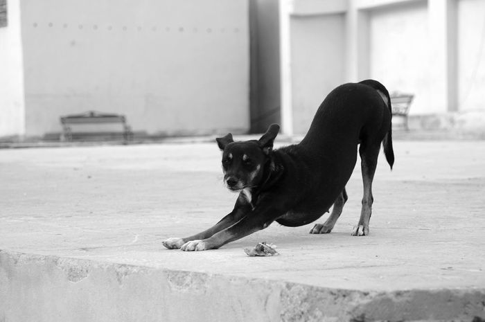 Domestic Animals Animal Themes Dog Mammal Pets One Animal Focus On Foreground Outdoors Day No People Close-up Black Dog Streetphotography Walking Around Havanna, Cuba Cuba Havana Street Benches City From Where I Stand Black And White