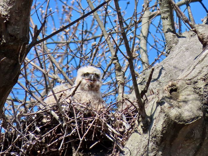 Two owlet in a nest birdwatching birds of EyeEm low angle view bare branches blue skies beauty in nature outdoors EyeEm nature lover Animal Themes No People