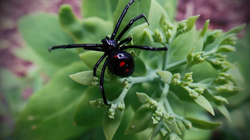 Isn't She Pretty? Looking For Love Interested ? Showcase July Fine Art Photography Beauty In Nature Black And Green Black Widow Spider Black With A Splash Of Color Insects  Spider Welcome To Black Pet Portraits