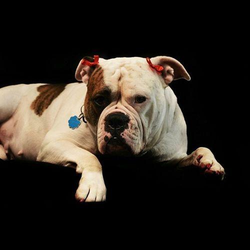 Miss Baba 💜 AmericanBulldog Weeklyfluff Fatheadcrew Lovemybully Petstagram Dogoftheday Picoftheday Dogstagram Dog Adorabull Bullytroopsgang Bulldogsofintagram Igpics Igbulldogs_worldwide Igpets Ambull Bullyface Bulldogmoments Bulldog_ig_community Bully Love
