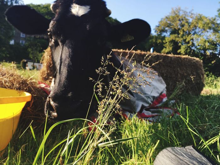 Animal Themes One Animal Domestic Animals No People Outdoors Mammal Nature Grass Close-up Field Grass Cow Livestock Agriculture Friesian Cow Farm Animal Agriculture Photography Looking At Camera Herbivorous Domestic Cattle Bovine Heifer
