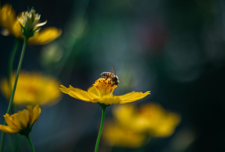 Animal Themes Animal Wildlife Animals In The Wild Beauty In Nature Bee Blooming Buzzing Close-up Day Flower Flower Head Focus On Foreground Fragility Freshness Growth Insect Nature No People One Animal Outdoors Petal Plant Pollination Yellow