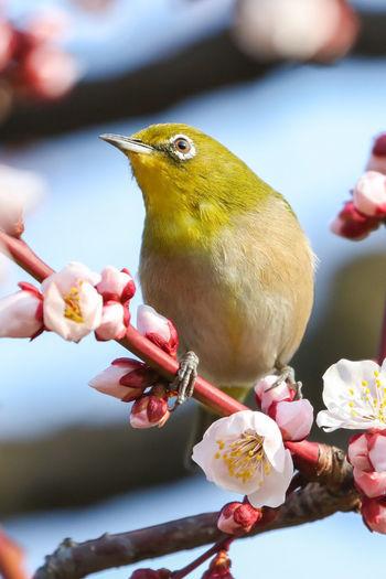 おかわり?メジロ Mejiro Japan Photography Japan OSAKA Plum Plum Blossom Plum Tree Spring Bird Bird Flower Close-up