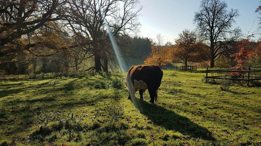 cattle grazing in the field England