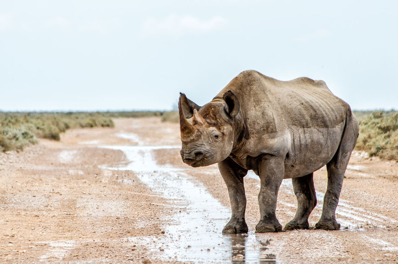 Side view of rhinoceros standing on land against sky
