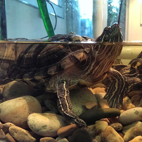 черепаха Turtle