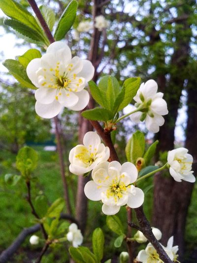 Spring Green White Flowers Beautiful Cool Color May Garden