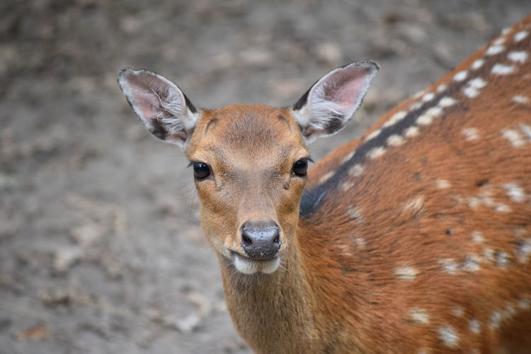 Animal Animal Head  Animal Nose Animal Themes Animals In The Wild Cerf Cerf Sika Close-up Day Deer Deer Sika Fawn Focus On Foreground Herbivorous Looking Looking At Camera Mammal No People One Animal Outdoors Portrait Sikadeer Snout Wildlife Zoology