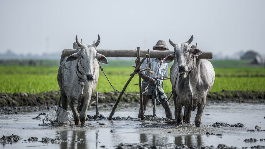 Farmer Plowing Rice Field With Traditional Plow