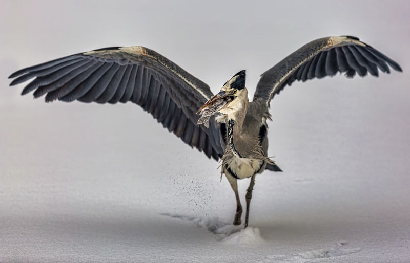 Gray heron carrying fish in mouth on snowy field