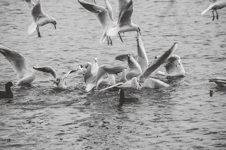Group Of Animals Animals In The Wild Vertebrate Water Animal Animal Themes Animal Wildlife Bird Flying Large Group Of Animals Waterfront Lake No People Spread Wings Nature Day Seagull Swimming Beauty In Nature Flock Of Birds