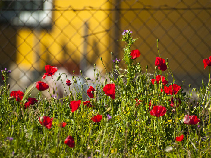 Beauty In Nature Blooming Close-up Contrast Day Environment Flower Flower Head Fragility Freshness Grass Growth Nature Nature No People Outdoors Petal Plant Poppies  Poppy Poppy Flowers Red Red Flower Spring Springtime